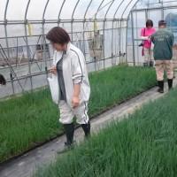 みんなで植えました♪♪「仙台井土ねぎ」定植体験会報告