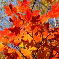 手稲山中腹、紅葉真っ盛り♪