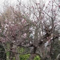 梅に桜にミモザが咲いています