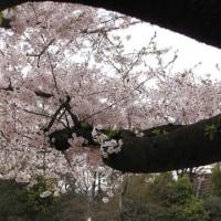 昨日の桜2