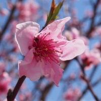 ♪春ごぼうの炊き込みごはん&菜の花の白あえ献立♪