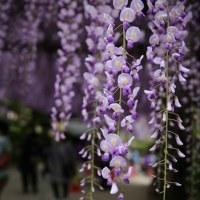 藤棚・芝桜・アイスランドポピー 3つの花の名所めぐり大感謝祭 丹波日帰り