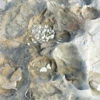 その後の石川足跡化石・化石木