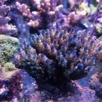 養殖 ミドリイシ コモンサンゴ キッカサンゴ