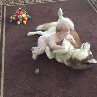 優しいハスキーと赤ちゃんのじゃれ合い