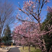 2017.02.15 杉並区梅里1 梅里公園: 青空に梅! さすが「梅里」・・か?