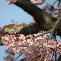 ニュウナイスズメ~大寒桜に遊ぶ~