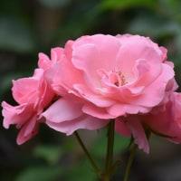 義父が所有していたバラの花がきれいに咲きました。
