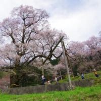 速報 ひょうたん桜