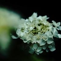 紫陽花 (花 4473)