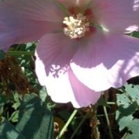 芙蓉の花(続)