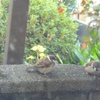 冬の雀子たち