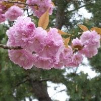 早稲田公園の八重桜
