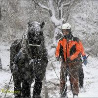 ★種差海岸 降雪の中、馬搬(ばはん)による倒木の撤去作業はじまる。