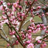 一足早い春を・・・横浜の梅園