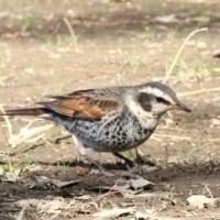 さいたま市桜区の秋ケ瀬公園に野鳥観察では、コゲラなどを観察しました