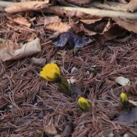 2月中旬の砧公園で (2) フクジュソウと変わった花ルスクスヒポフィルム