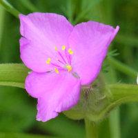ムラサキツユクサ 紫露草