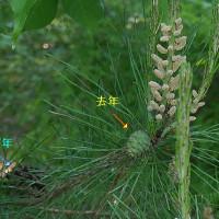 赤松(アカマツ)の雄花と雌花