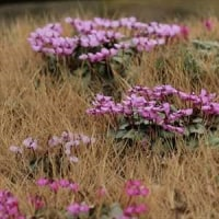 シクラメン 京都府立植物園