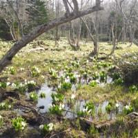 春の知床五湖