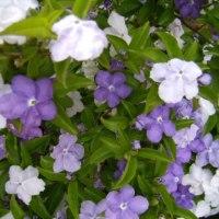 「おはようの花」 バンマツリ(蕃茉莉) 5月