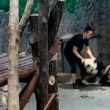 「パンダ虐待」動画が中国で拡散、物議醸す