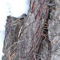 樹木ウォッチング冬から夏へ200ツタウルシ1