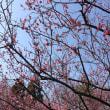 紅梅白梅  今咲きほこる