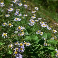 城山への登山道の脇では紫苑(しおん)が満開でした。 (Photo No.13755)