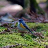 こんな身近で「幸せを呼ぶ青い鳥」に遭遇!・・・ルリビタキ