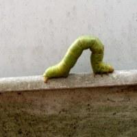 シャクガの幼虫、尺取虫