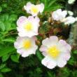 5月のバラ・板塀の奥へ
