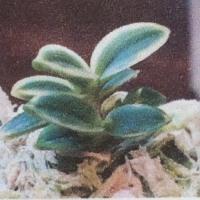 第7回四国山草園蘭の自慢会開催へ