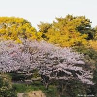 大池公園の桜〜夕陽に照らされて!