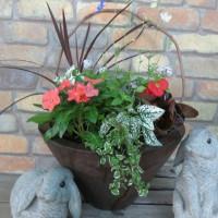ガーデンシクラメンの鉢上げ