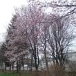 札幌も桜が咲く季節となりました。