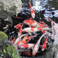 猿田彦神社の寒鯉