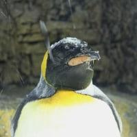 修行中ペンギン