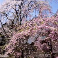 大町の観光道路の桜に北アルプス