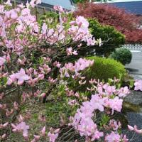 ミツバツツジが咲きました