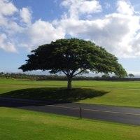 この木何の木気になる木はモンキーポッド