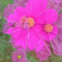 秋桜の咲くころ