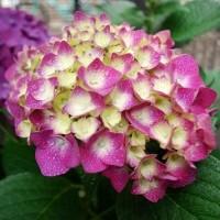 #5242 紫陽花
