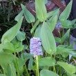 ナガバミズアオイ 長葉水葵