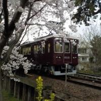 2017年4月夙川、京都、大阪の桜
