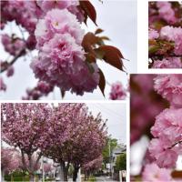 ≪ヤエザクラ・八重桜≫