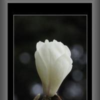 白木蓮が咲きだした
