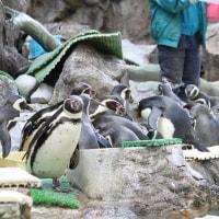 ペンギン飼育員さんのファッション・2