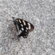 タテハチョウ科のゴマダラチョウ